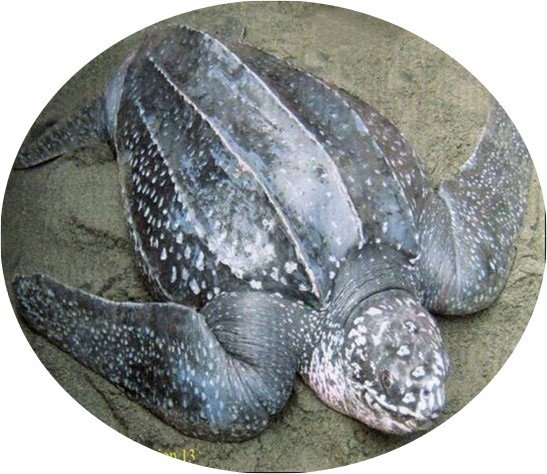 5 of the 7 known Marine Turtles in the World are found in the Philippines